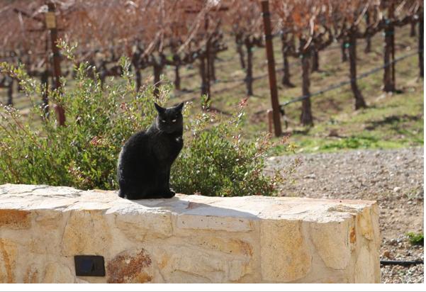 Guard Cat at Winery