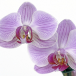 picture:  Orchids